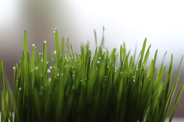 top 12 benefits of wheatgrass