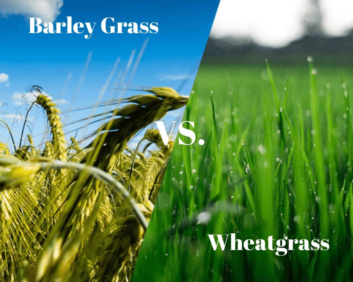 what is the difference between wheatgrass and barley grass?